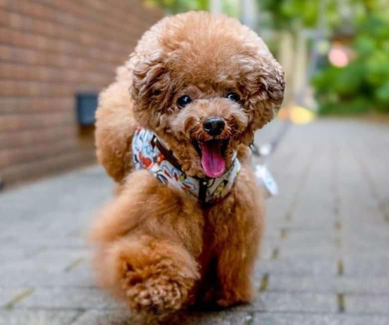 Poodle dog walking outside