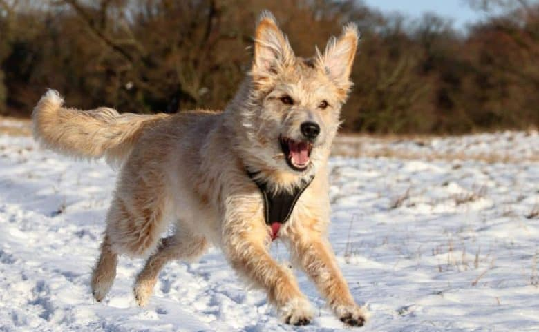 Poodle German Shepherd mix dog running in the snow