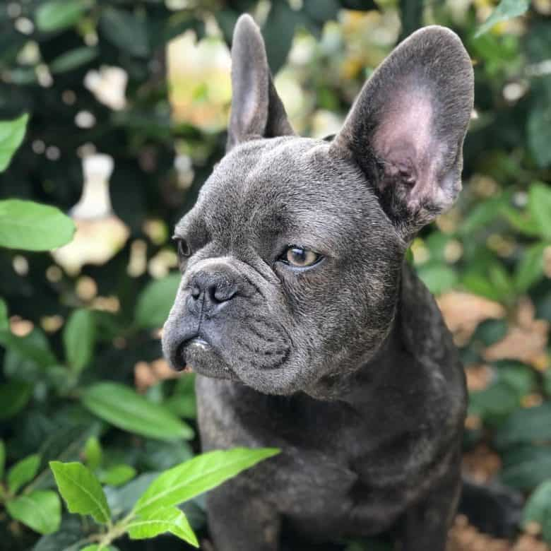 A side portrait of a Blue Frenchie with leaves background