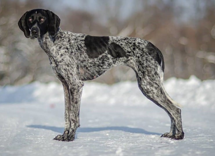 A Greyster standing on snow
