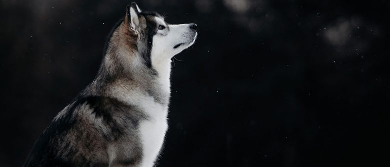 Portrait of Alaskan Malamute sitting and looking above