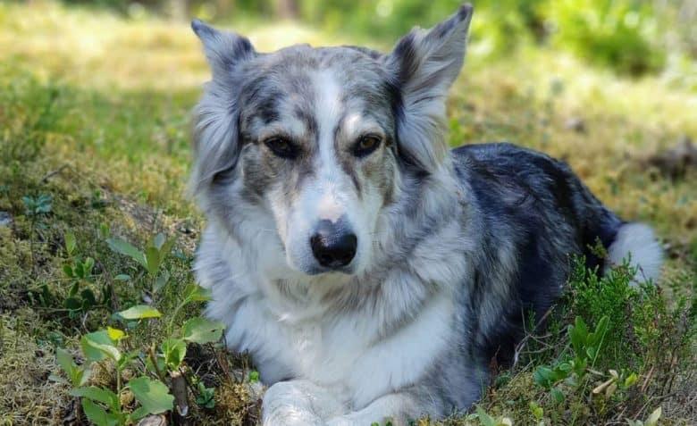 Portrait of Aussie Malamute dog lying outside