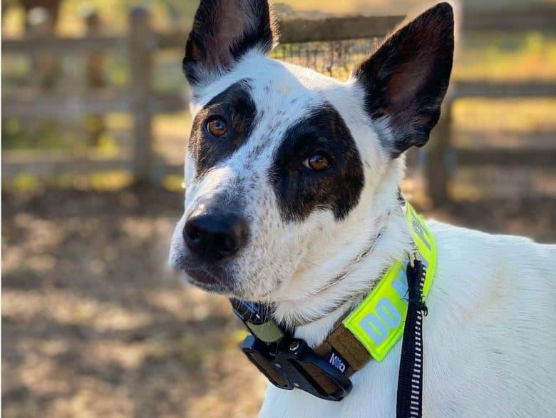 Portrait of Australian Shepherd Blue Heeler mix dog