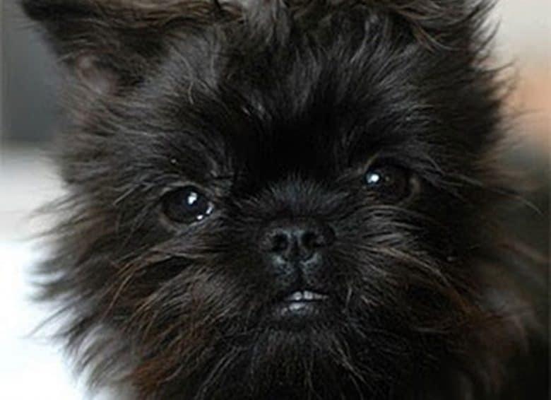 Portrait of Border Terrier and Affenpinscher mix dog