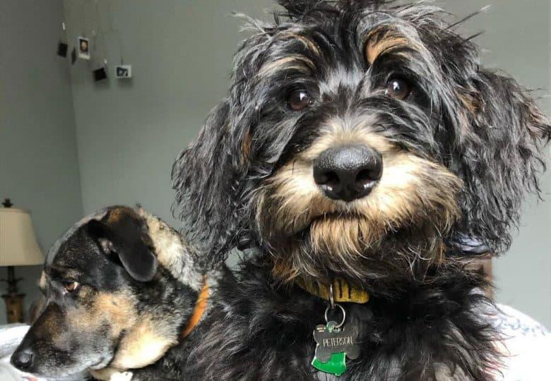 Portrait of German Shepherd Poodle mix dog