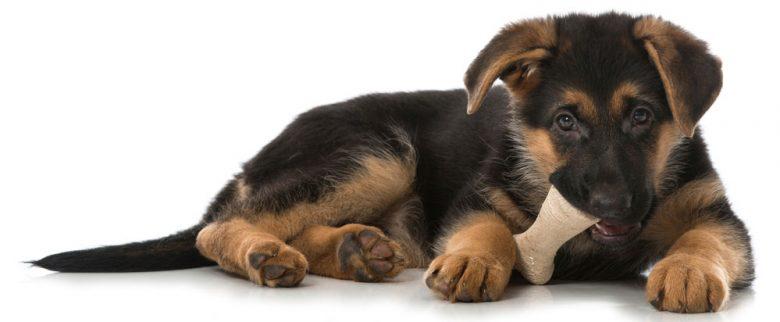 Portrait of a German Shepherd puppy chewing a bone