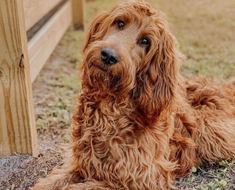 Portrait of Irish Setter Poodle mix dog lying outside