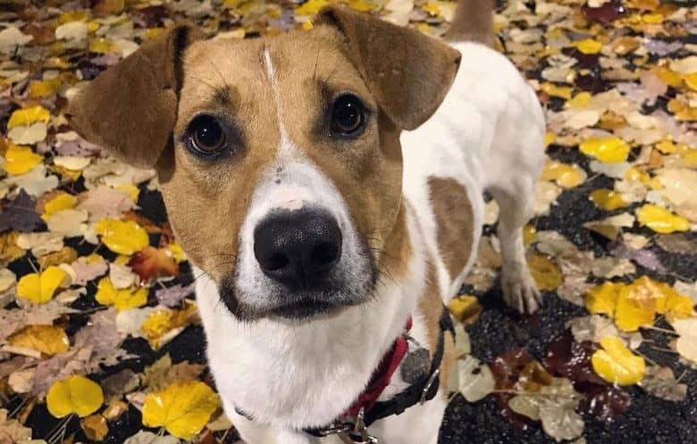Portrait of Jack Russell Terrier Basset Hound mix dog