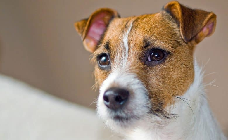 Portrait of Jack Russell Terrier dog