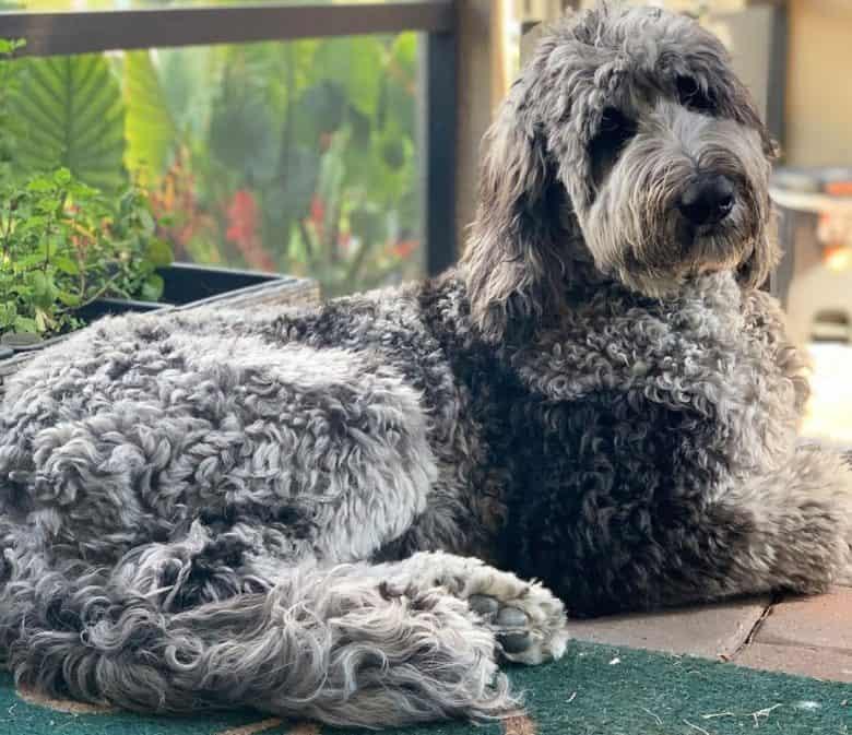 Portrait of lying Great Dane Poodle mix dog