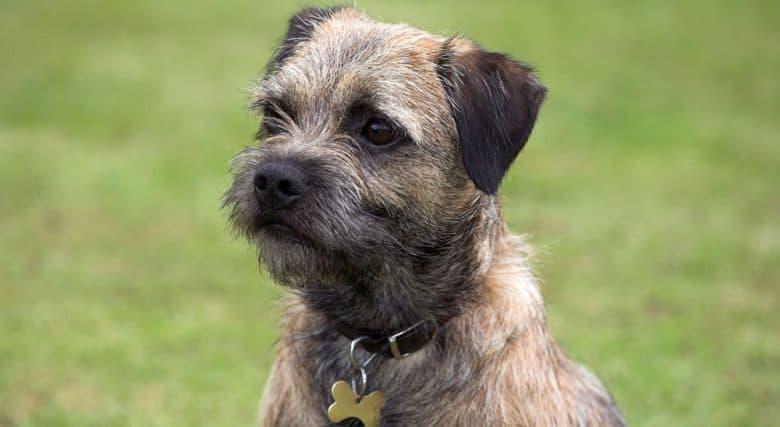 Portrait of purebred Border Terrier dog