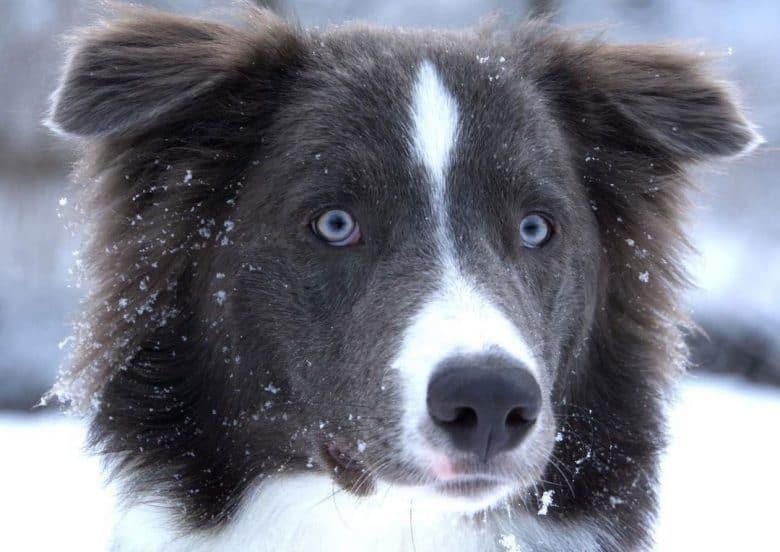Portrait of rare Australian Shepherd dog