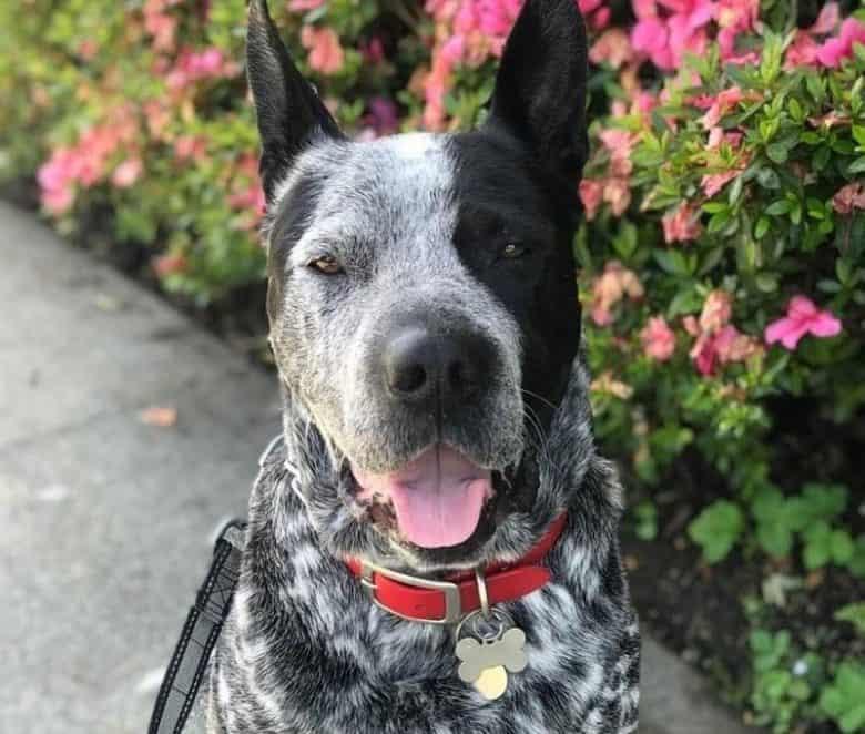 Portrait of Shar Pei Blue Heeler mix dog
