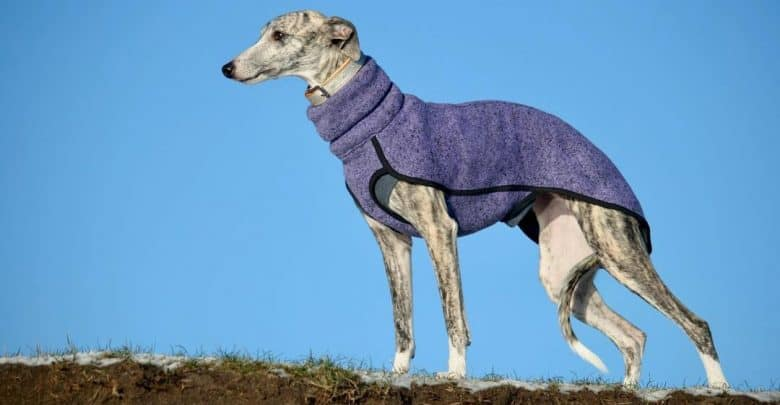 Portrait of Sighthound dog wearing a purple outfit