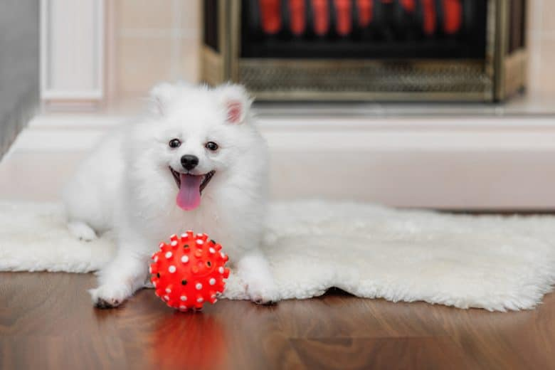 White Pomeranian laying down with red dog toy