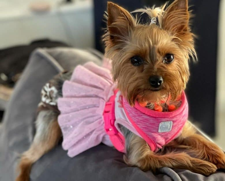 A pretty Brown Yorkie wearing a bright pink dress and laying on top of a couch