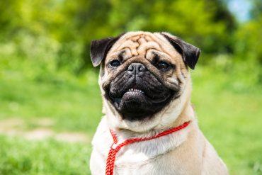 a beaming Pug half-body portrait