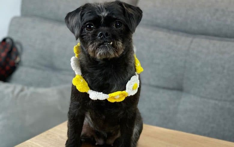 Pug Poodle mix wearing cute white-yellow flower collar