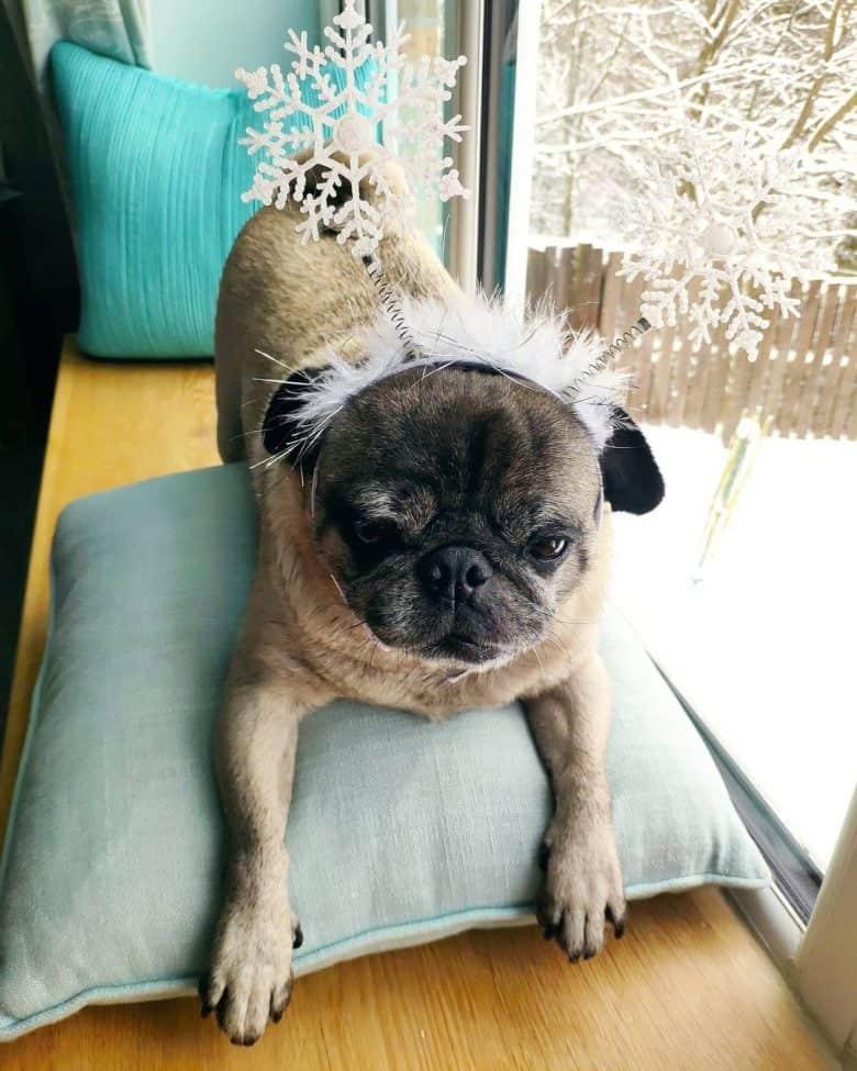 A Pug wearing snowflake headband