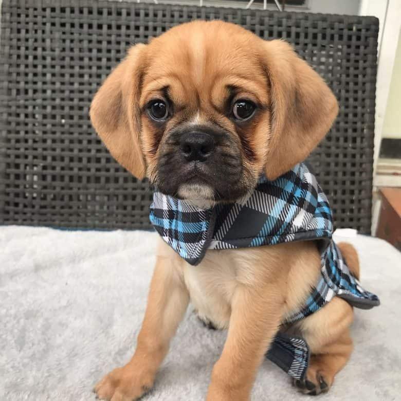 A cute Pugalier puppy wearing a plaid vest