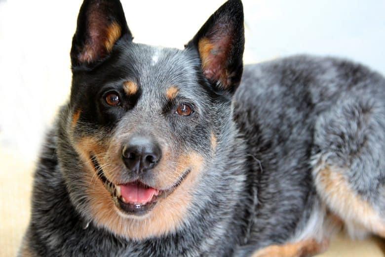 Purebred Blue Heeler dog portrait