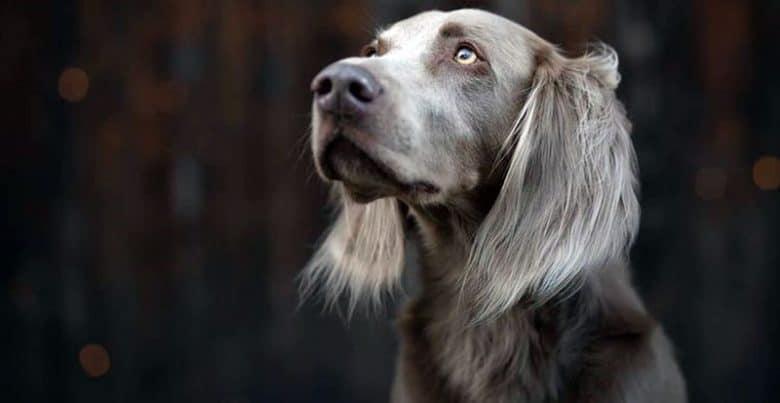 Purebred Weimaraner dog portrait