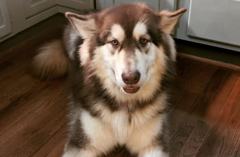 Red and white Alaskan Malamute dog lying on the floor