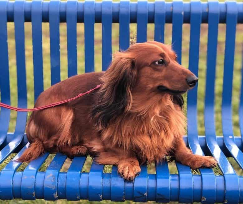 A red Dachshund looking on the left