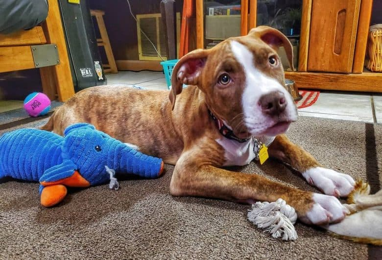 A Red Nose Brindle Pitbull laying with toys