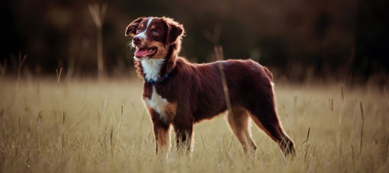 Red tri-colored Australian Shepherd dog standing on the field