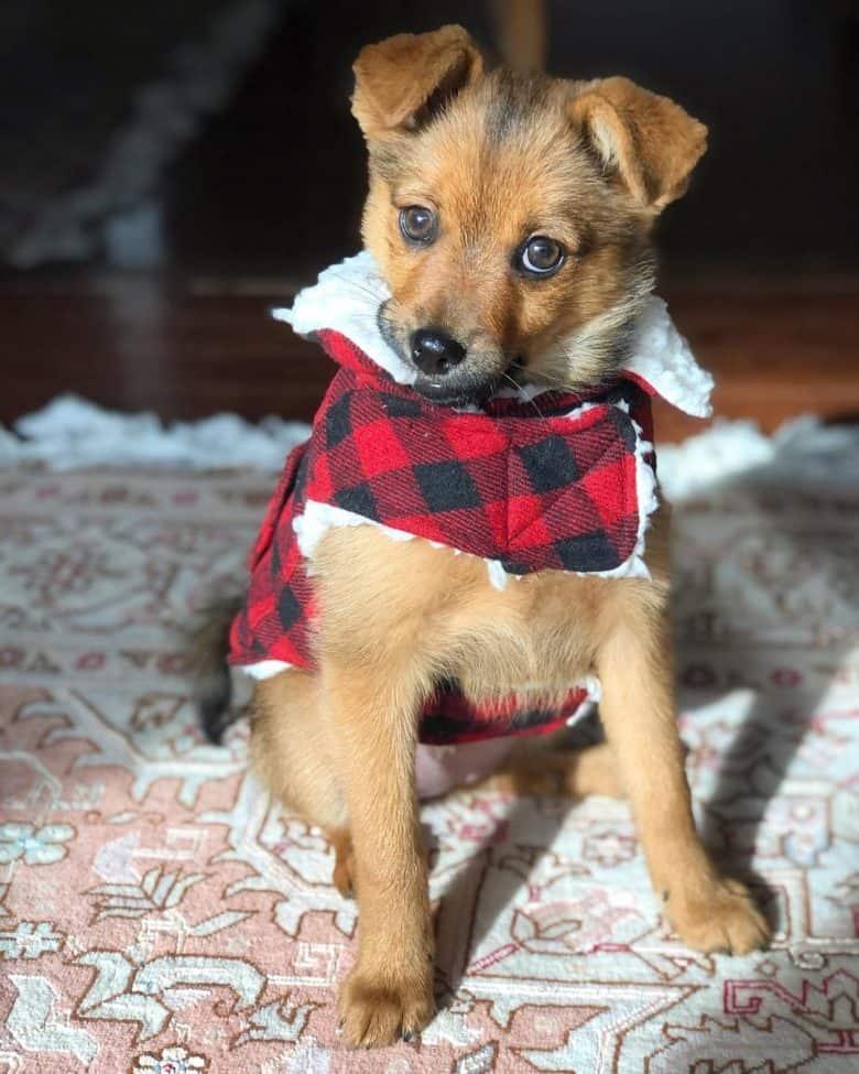 A magnificent Rottie Pom wearing a plaid dog vest