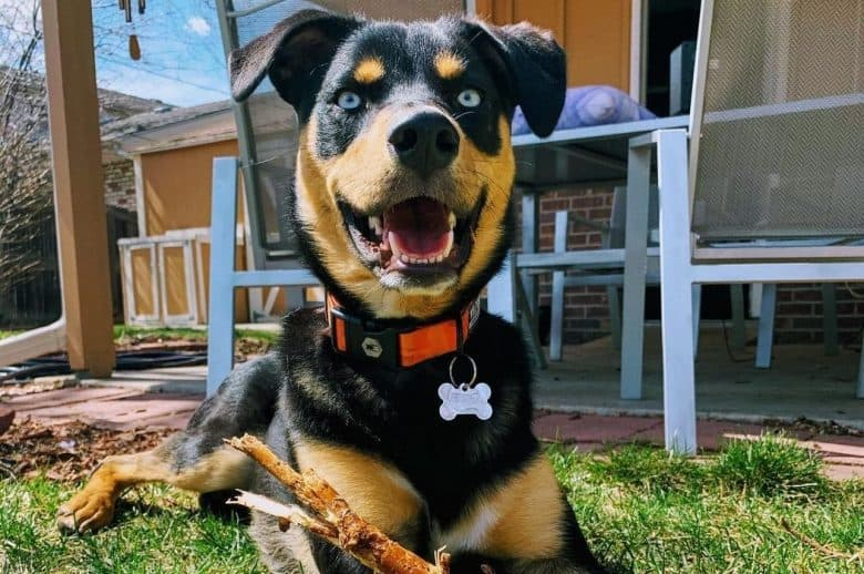 A Rottweiler Catahoula mix playing with a tree branch