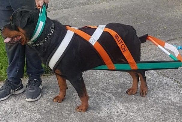 A big Rottweiler wearing a dog harness