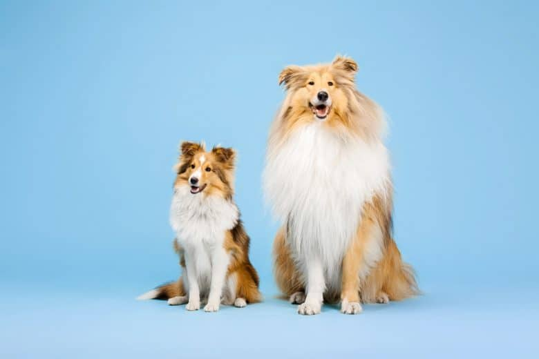 A Rough Collie and Shetland Sheepdog sitting with light blue background