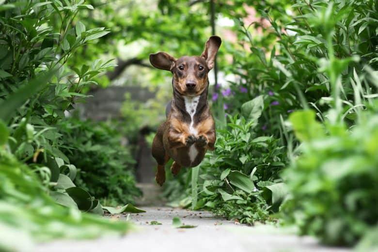 An active Dachshund puppy running on a garden