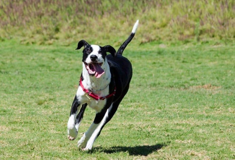 A Great Dalmatian running on a field happily