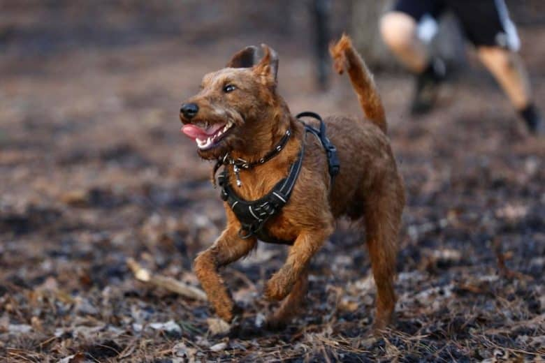 An Irish Terrier running and playing tag