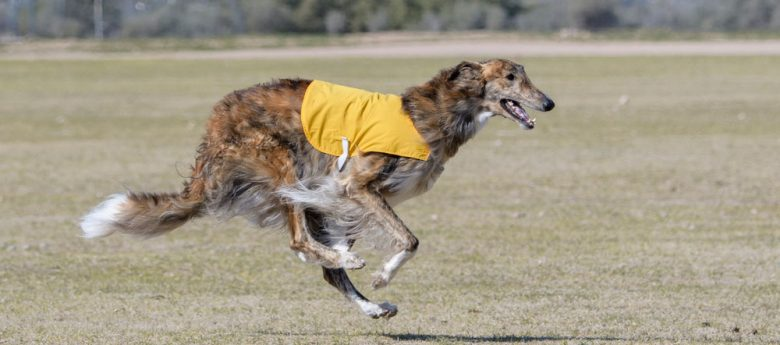 Russian Borzoi dog chasing a lure in a competition