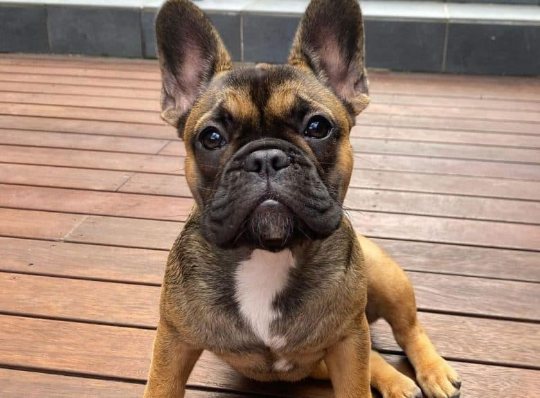 Sable French Bulldog sitting on the wooden floor