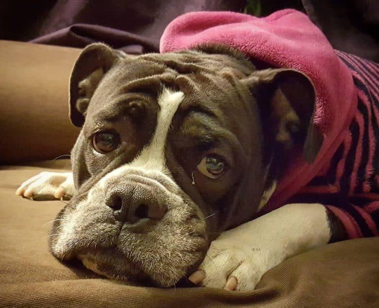 A lonely English Bulldog Pittie mix wearing a pink stripes sweater