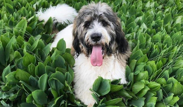 Saint Bernard Poodle mix dog relaxing on the flower garden