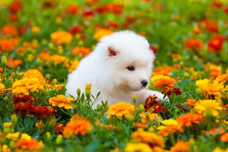A white Samoyed puppy surrounded with flowers