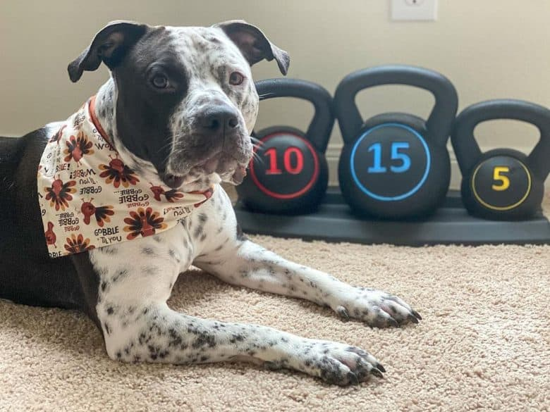 A Pit Heeler wearing a bandana with dumbbells as background