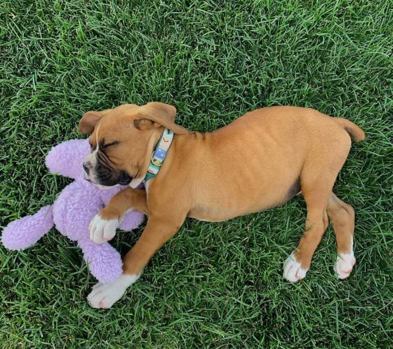 Sleeping Boxer puppy