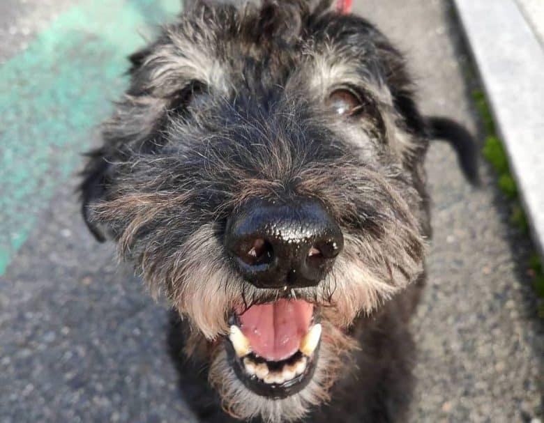 Scottish Terrier Poodle mix dog close-up portrait