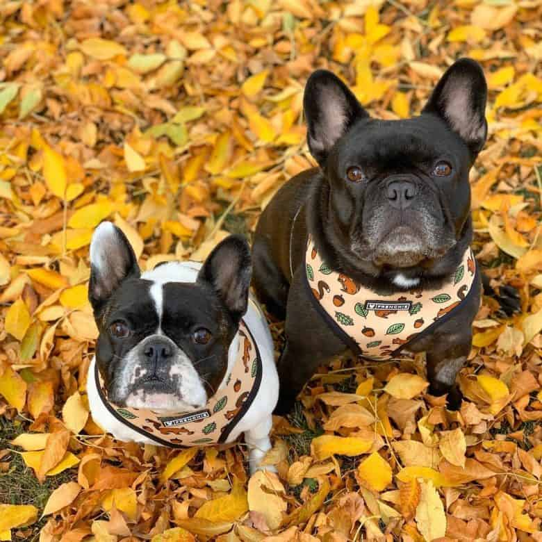 two serious looking French Bulldogs sitting on fall leaves