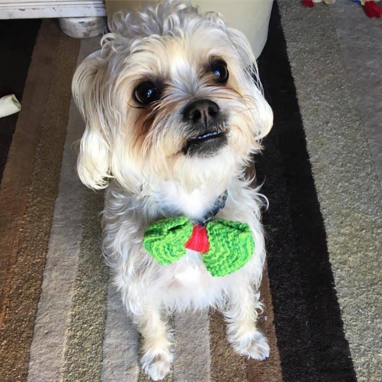 A Malti-Pug wearing a fancy bow tie