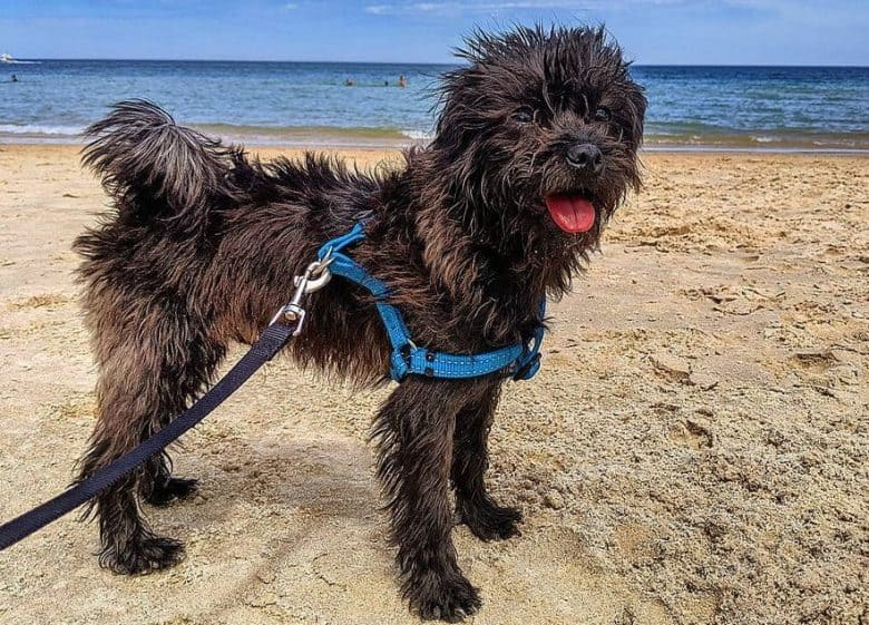 A Pug Poodle mix on a beach