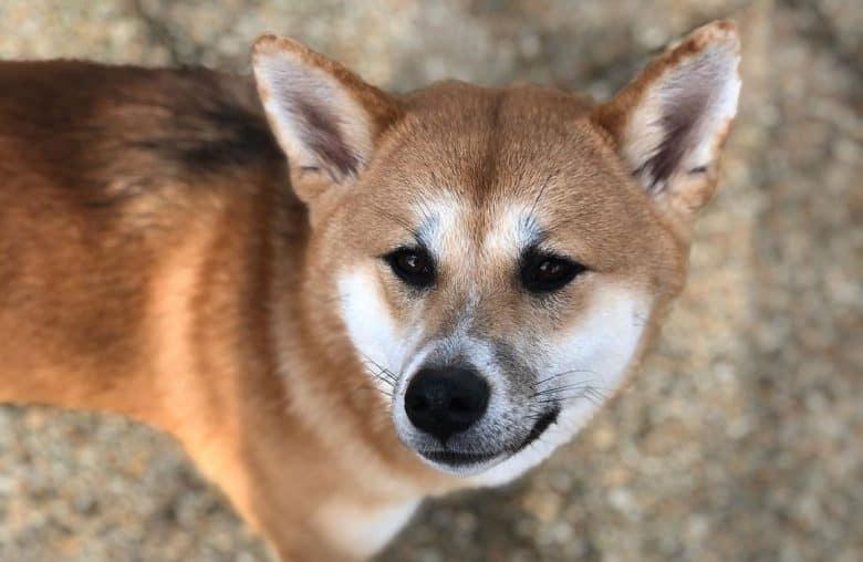 Shiba Inu and Akita mix dog portrait