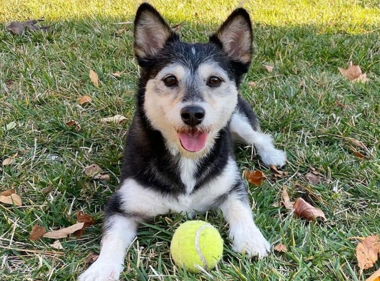 Shiba Inu Poodle mix dog playing a tennis ball outside